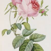 """Rose engraved by Eustache Hyacinthe Langlois "" by The Fine Art Masters"