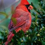 """Mr Male Northern Cardinal"" by ROBERTSCOTTPHOTOGRAPHYY"
