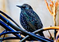 European Starling in Winter Plumage