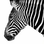 """Zebra Profile"" by walbyent"