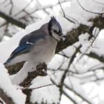 """Blue Jay"" by NaturesImpactPhotography"