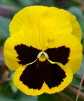 Yellow Gold Pansy