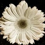 """""""Gerber Daisy"""" by markashkenazi"""