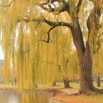"""Weeping Willow, Boston Public Gardens"" by RoupenBaker"