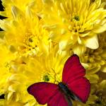 """Red butterfly on poms"" by photogarry"