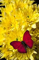 Red butterfly on poms