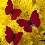 """""""Three Red Butterflys"""" by photogarry"""