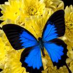 """Blue butterfly on poms"" by photogarry"