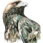 """Wedge Tail Eagle"" by ZiyaEris"