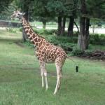 """""""Giraffe"""" by lisaarundale"""