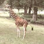 """""""Giraffe 2"""" by lisaarundale"""