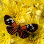 """Orange Black Butterfly"" by photogarry"