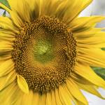 """Sunny Delight"" by Janice_Wagnon_Photography"