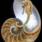 """Nautilus With Seahorse"" by photogarry"