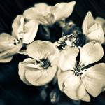 """Florid White Petaled Simplicity"" by MissDawn"