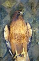 Redtail Hawk One