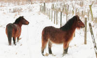 Ponies In The Snow