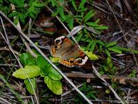 Buckeye Butterfly - Photography/Digital Art