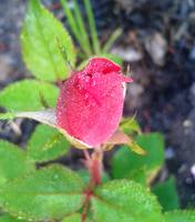 morning dew rose bud