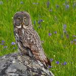 """Great Gray Owl"" by linnea"
