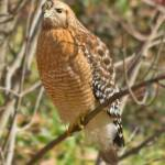 """Red Shouldered Hawk 1"" by"