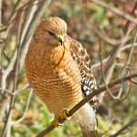 """Red Shouldered Hawk 2"" by"