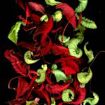"""Poinsettia Splash"" by LindaCavaney"