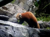 Red Panda on the Rocks