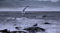 Gulls in a Restless Sea