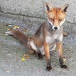 """Mr Fox"" by photosbysammy"