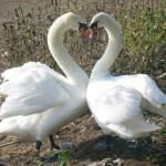 """heart swan"" by photosbysammy"