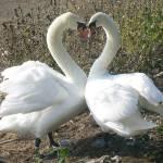 """heart swan"" by photosbysammy"