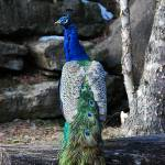 """""""Stud Peacock 20130107_157a"""" by Natureexploration"""
