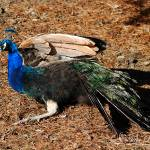 """""""Male Peacock 20130107_429a"""" by Natureexploration"""
