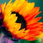 """""""Fiery Flower"""" by kcpetersen"""