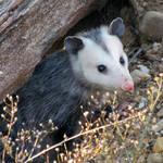 """""""Opossum"""" by dansmith"""