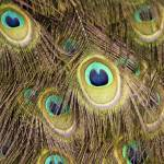 """""""Peacock Feathers"""" by Mottull"""