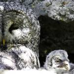 """Mother and Owlet - Calgary Zoo April 28th"" by Mottull"