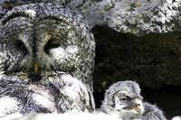 Mother and Owlet - Calgary Zoo April 28th