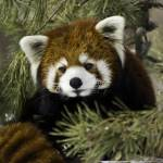 """""""Red Panda"""" by Mottull"""