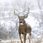 """Trophy Whitetail Deer"" by BillKinney"