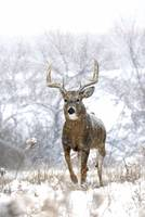 Trophy Whitetail Deer