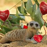 """Sexy Valentine Meerkat"" by Lawrence"
