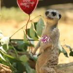 """Valentine Meerkat"" by Lawrence"