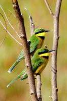 Cinnamon Chested Beeeaters