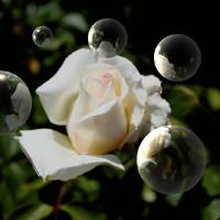 Rose And Bubbles Art Prints & Posters by Kathy Gagliano