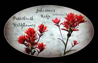 paintbrush wildflowers, Johnston's Ridge 3, oval