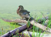 Wood Duck on Misty Morning