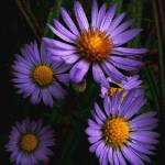 """Wild Asters"" by bavosiphotoart"