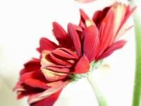 soft side red daisy